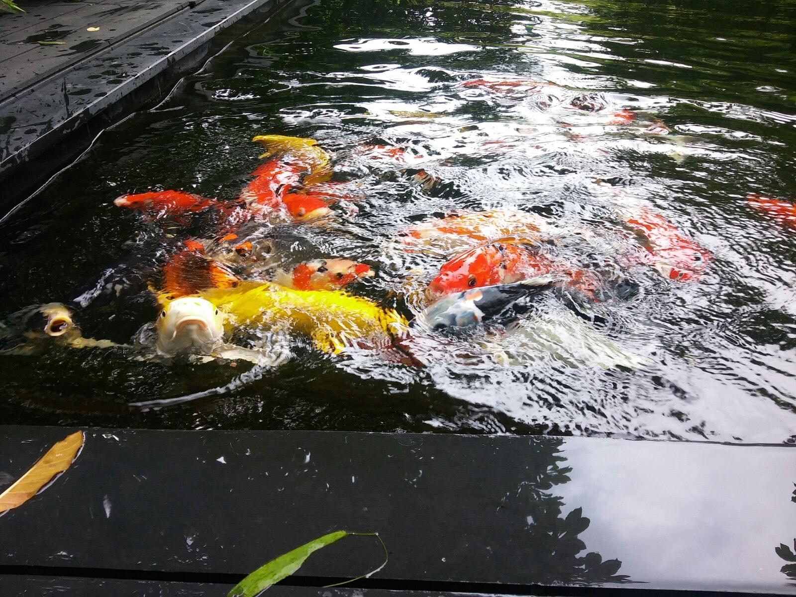 Hồ cá Koi sân vườn tại Phú Mỹ Hưng _ Quận 7 _ TP. Hồ Chí Minh